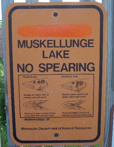Muskies really are in lake minnetonka