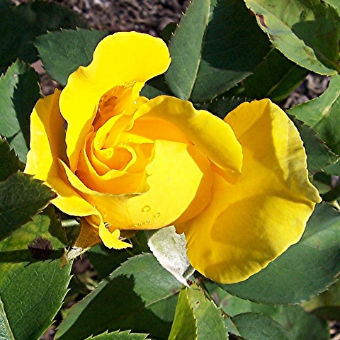 yellow rose at lyndale garden lake harriet minneapolis