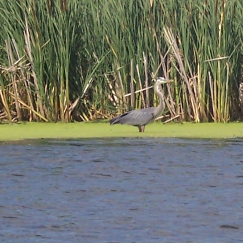 great blue heron in scott county mn lake