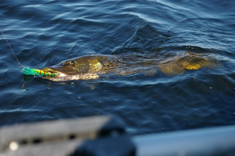 killer northern pike lurk in green lake.
